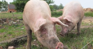 pig_breeding_swine